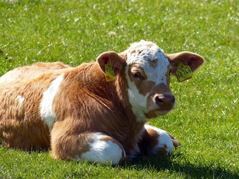 Calf Feeds