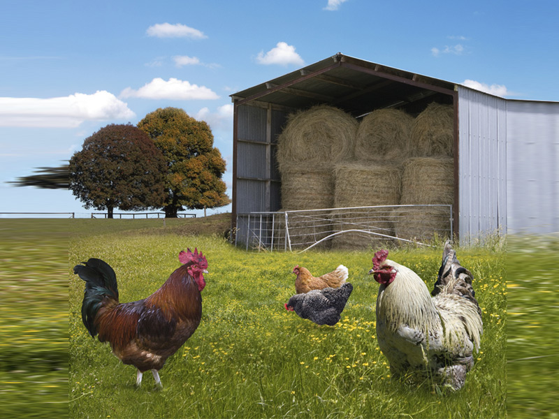 Poultry Feed